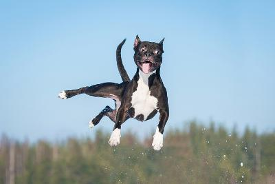 Funny American Staffordshire Terrier Dog with Crazy Eyes Flying in the Air-Grigorita Ko-Photographic Print