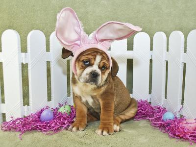 Funny Easter Bulldog- JStaley401-Photographic Print