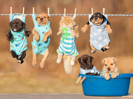 Funny Group of American Staffordshire Terrier Puppies with Little Red Cat Hanging on a Clothesline-Grigorita Ko-Photographic Print