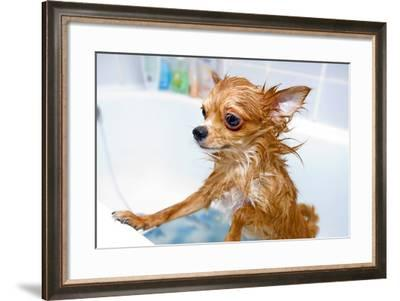 Funny Wet Chihuahua Dog in Bathroom-art nick-Framed Photographic Print