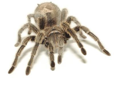 Furry Legs on Crawling Brown Tarantula--Photographic Print