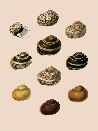 Calocochlia Shells