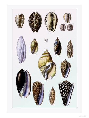 Shells: Convoltae and Orthocerata