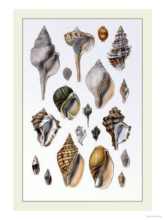 Shells: Sessile Cirripedes