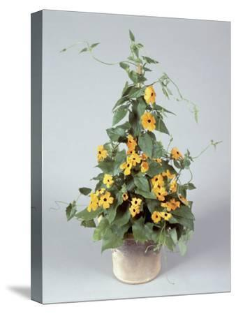 Close-Up of Black-Eyed Susan Vine Flowers Growing in a Pot (Thunbergia Alata)