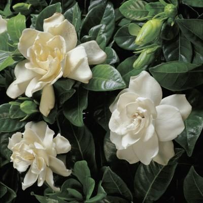 Close-Up of Cape Jasmine Flowers (Gardenia Jasminoides)