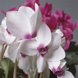 Close-Up of Florist's Cyclamen Flowers (Cyclamen Persicum) by G. Cigolini