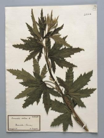 Close-Up of Hemp (Cannabis Sativa) in a Herbarium