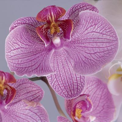 Close-Up of Moon Orchids (Phalaenopsis Amabilis)