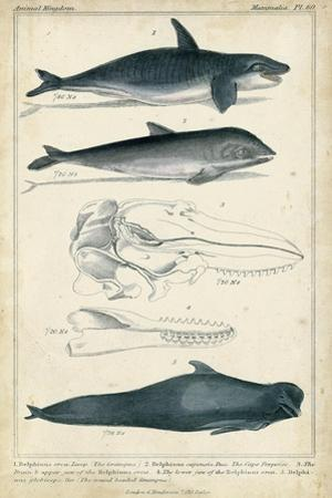 Antique Whale and Dolphin Study I