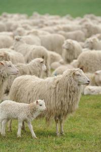 Sheep Grazing in Grassy Field by G&J Fey
