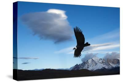 Andean Condor (Vultur Gryphus) Flying over Torres Del Paine National Park, Chilean Patagonia, Chile