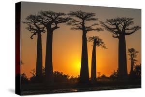 Baobab Trees (Adansonia Grandidieri) at Sunset, Morondava, Toliara Province, Madagascar, Africa by G&M Therin-Weise