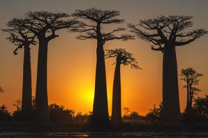 Baobab Trees (Adansonia Grandidieri) at Sunset, Morondava, Toliara Province, Madagascar, Africa by G&M Therin-Weise