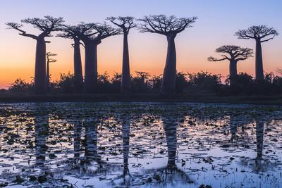 Baobab Trees (Adansonia Grandidieri) Reflecting in the Water at Sunset
