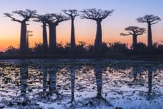 Baobab Trees (Adansonia Grandidieri) at Sunset, Morondava, Toliara Province, Madagascar, Africa-G&M Therin-Weise-Photographic Print
