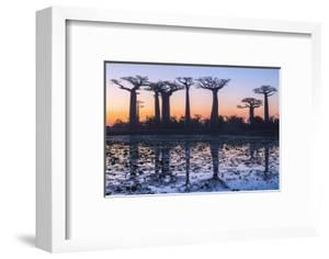 Baobab Trees (Adansonia Grandidieri) Reflecting in the Water at Sunset by G&M Therin-Weise