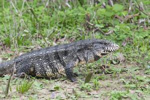 Black and White Tegu (Tupinambis Merianae), Pantanal, Brazil, South America by G&M Therin-Weise