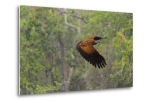 Black-Collared Hawk (Busarellus Nigricollis) in Flight, Pantanal, Mato Grosso, Brazil by G&M Therin-Weise