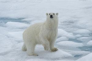 Female Polar bear (Ursus maritimus) walking on pack ice, Svalbard Archipelago, Barents Sea, Arctic, by G&M Therin-Weise