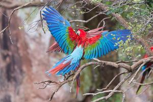 Playful Red-And-Green Macaws (Ara Chloropterus), Buraco Das Araras, Mato Grosso Do Sul, Brazil by G&M Therin-Weise