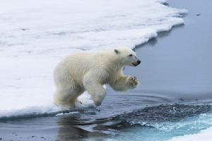 Polar bear cub (Ursus maritimus) jumping over the water, Spitsbergen Island, Svalbard archipelago,  by G&M Therin-Weise