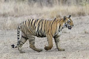Young Bengal tiger walking, Tadoba Andhari Tiger Reserve, Maharashtra state, India by G&M Therin-Weise