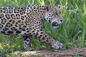 Young Jaguar (Panthera onca) on a riverbank, Cuiaba river, Pantanal, Mato Grosso, Brazil, South Ame by G&M Therin-Weise