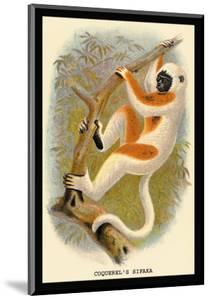 Coquerel's Sifaka by G.r. Waterhouse