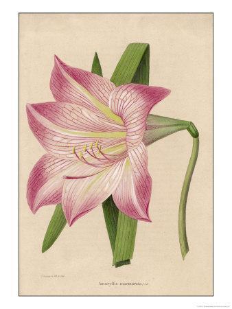 Amaryllis Marmorata