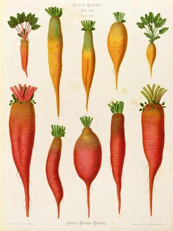 "Carrots and Turnips: from the ""Album Benary"" Tab. XIV"