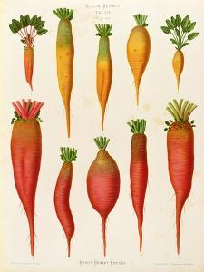 """Carrots and Turnips: from the """"Album Benary"""" Tab. XIV by G. Severeyns"""