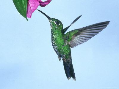 Green-Crowned Brilliant, Costa Rica
