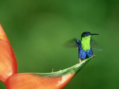 Violet-Crowned Woodnymph, Costa Rica