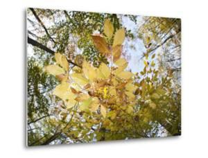 A Beech Tree, Fagus Grandifolia, in Fall Colors in the Pocono Mountains by Gabby Salazar