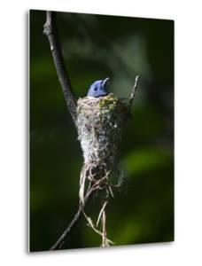 A Black-Naped Blue Monarch, Hypothymis Azurea, Inside a Nest by Gabby Salazar