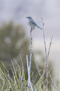 A Mountain Bluebird, Sialia Currucoides, Perched on a Twig by Gabby Salazar