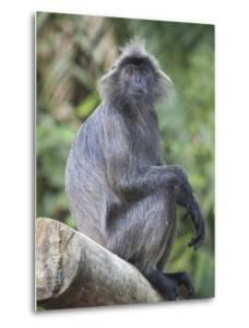 A Silvery Lutung, Trachypithecus Cristatus, Sits on a Log in the Rainforest by Gabby Salazar