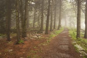 A Trail Through a Misty Evergreen Forest by Gabby Salazar