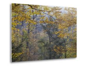 American Beech Trees, Fagus Grandifolia, in Fall Foliage in Ricketts Glenn State Park by Gabby Salazar