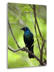 Cape Glossy Starling, Lamprotornis Nitens, Perched on a Branch by Gabby Salazar
