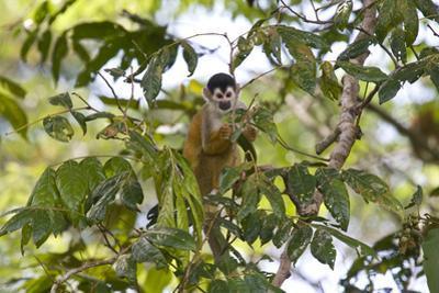 Central American Squirrel Monkey, Saimiri Oerstedii, in a Tree by Gabby Salazar