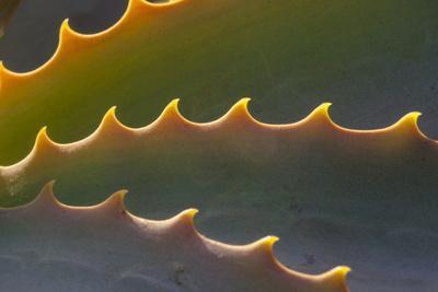 Edges of an Aloe Plant