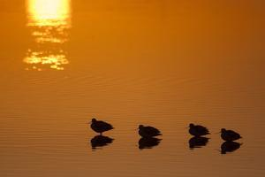 Four American Avocets, Recurvirostra Americana, Silhouetted at Sunset in the Salton Sea by Gabby Salazar
