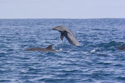 Pacific Spotted Dolphins, Stenella Attenuata, Swim Off the Coast of Costa Rica by Gabby Salazar
