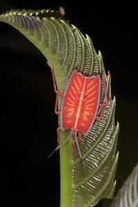 Portrait of a Stink Bug Nymph, Tessaratomidae, on a Leaf by Gabby Salazar