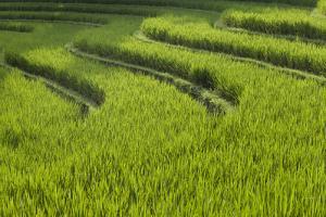 Rice Fields in Bali by Gabby Salazar