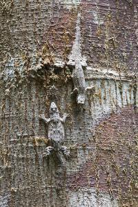 Two Frilly Forest Geckos, Hemidactylus Craspedotus, on a Tree by Gabby Salazar