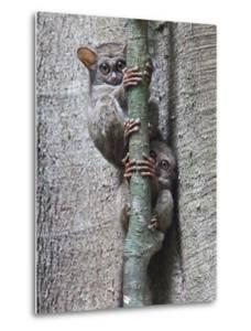 Two Spectral Tarsiers, Tarsius Tarsier, on a Tree Branch at Dusk by Gabby Salazar