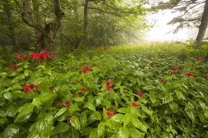 Wild Bee Balm or Bergamot, Monarda Fistulosa, in a Forest after a Rain by Gabby Salazar
